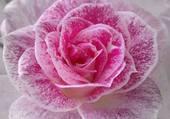 rose par helene