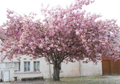 Prunus