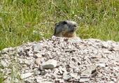 La marmotte siffleuse