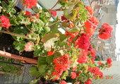 Géraniums balcon