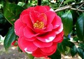 Fleur rouge Angkor