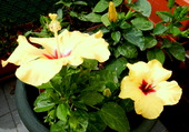 Hibiscus jaunes 3
