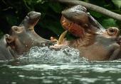 Puzzle Hippopotames
