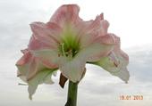 Amaryllis rose