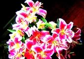 Fleurs de Lys HDR-1