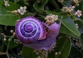 escatgot violet