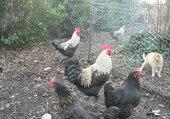 Puzzle mes poules
