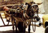 L'âne et la Datsun jaune