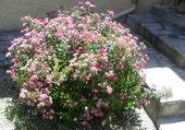 spires rose