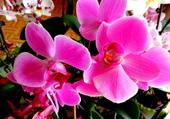 Orchidées parme 1
