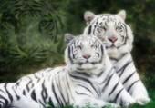 Tigres blanc