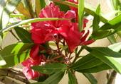 Fleurs de lauriers rose1