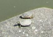 Puzzle 2 bébés tortue