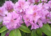 Rhododendron mauve