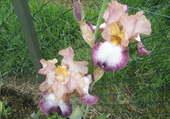 Beaux iris