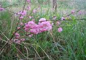 champêtre rose