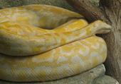 Puzzle Serpent albinos