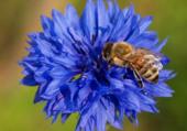 Bleuet et insecte
