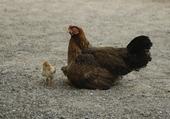 Une poule à la plage