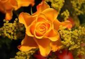 rose éclatante