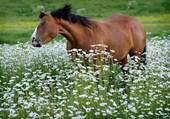 Cheval parmi les fleurs