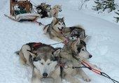 le repos des huskys