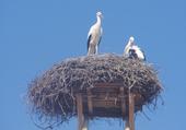 Cigognes sur un toit perchées