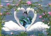 cygnes amoureux