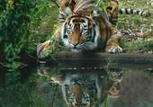 Tigre assoiffé