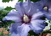 Althéa bleu
