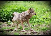 un loup bien portant