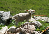 Petit mouton deviendra grand