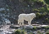 chien d'alpage