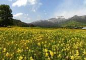 champs de fleurs à Cordon