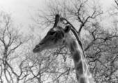 Tête de girafe N.B.