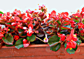 Bégonias rouge blanc balcon 1
