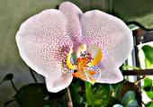 Orchidée Coeur jaune