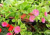 Plante grasse à fleurs roses