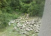Puzzle troupeau de mouton