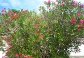 Fleurs en Ile de Ré