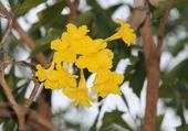 fleur de thaïlande