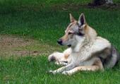 Asgard le loup