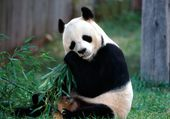 Panda mâchant eucalyptus