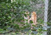 Puzzle Petite bagarre de Tigres