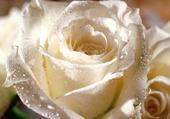 rose blanche et gouttes de rosée