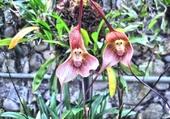 Orchidée tête ouistiti