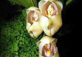 Orchidée 3 bébés dans un couffin