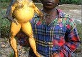 elevage de grenouille