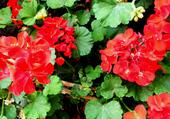 Géraniums rouges 1
