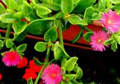 Plante grasse à fleurs roses 2